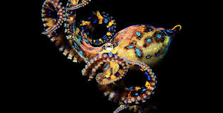 Image result for blue-ringed octopus