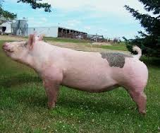 Image result for show hogs